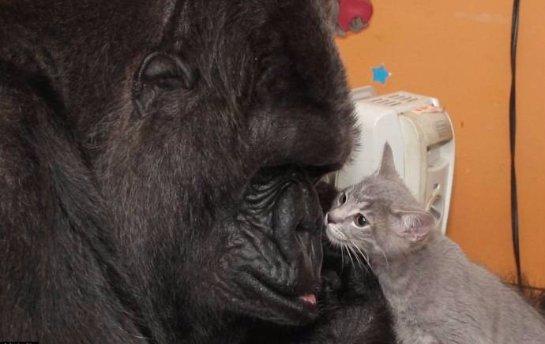 Горилла Коко воспитывает двух котят