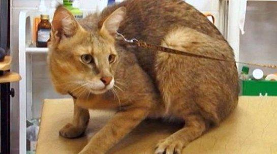 Житель Екатеринбурга приютил у себя дома камышового кота