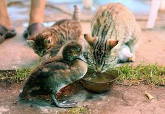Кошка стала мамой для утёнка