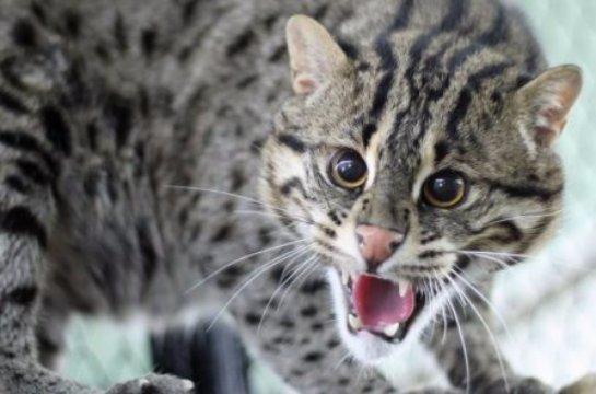 В Роевом ручье поселилась виверровая кошка