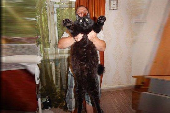 Десятикилограммовый кот  Максимус стал новой звездой интернета