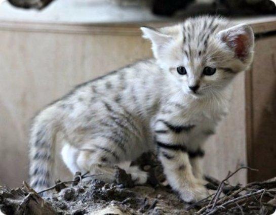 В Чешском зоопарке Брно появились барханные котята