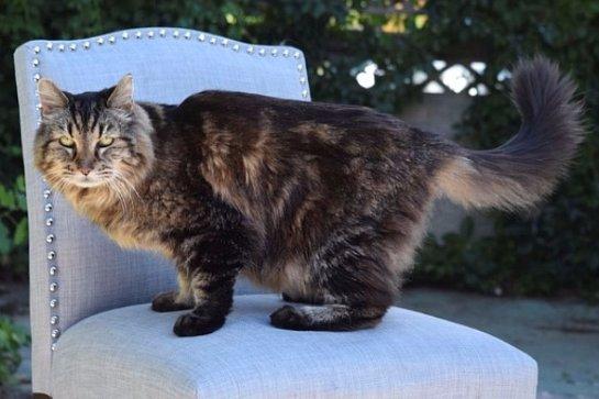 Самым старым котом в мире считается кот Вельвет