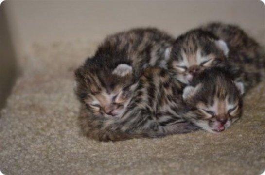 Самка черноногой кошки родила котят