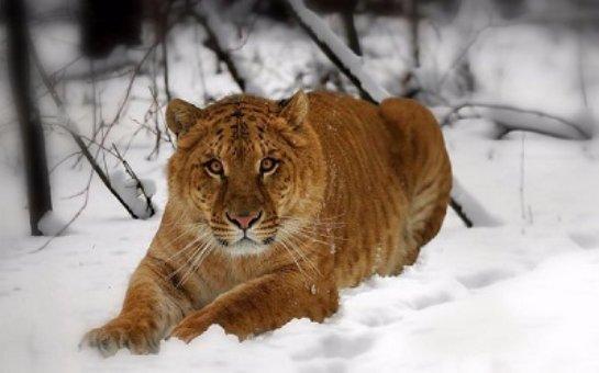 В придорожном кафе в Приморье теперь живет лигр