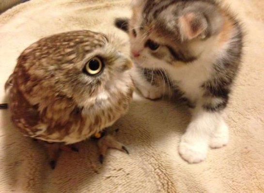 Котёнок подружился с совой
