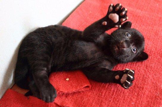 В Китае на свет появился необычный черный тигренок без полосок