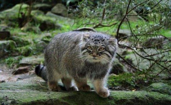 Манулы- самые неприручаемые представители кошачьих