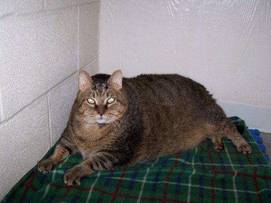 Толстый кот был найден на улице