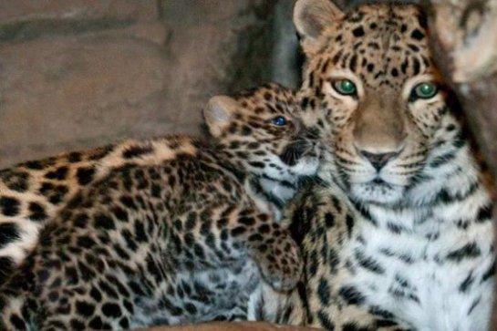 В сочинском нацпарке подрастает леопард