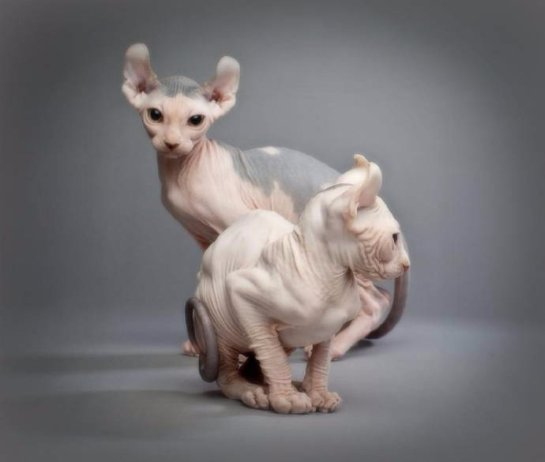 Американцы вывели новую породу кошек