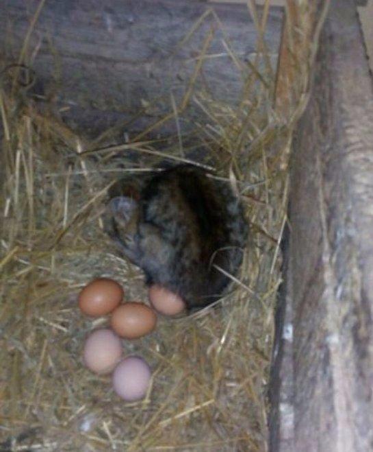 Маленький котёнок поселился в курятнике