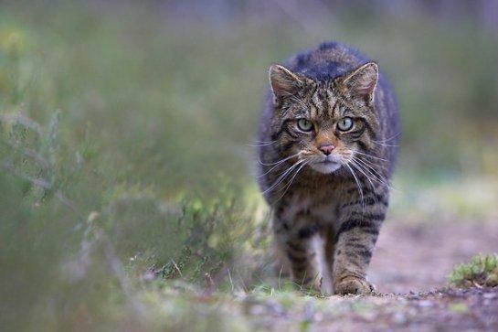 В Шотландии собираются клонировать дикого кота