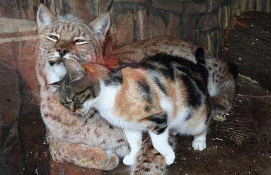 Кошка и рысь стали настоящими друзьями в зоопарке Санкт-Петербурга
