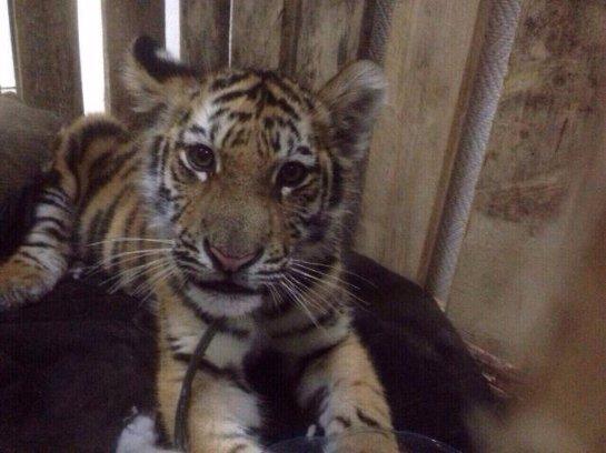 Спасенного из рук контрабандистов тигренка привезли в Москву