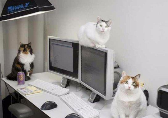 Японская компания разрешила своим работникам приносить кошек в офис