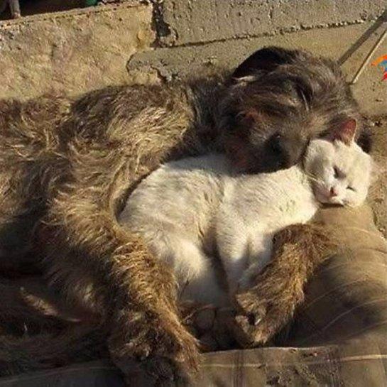 Волкодав заменил маму котёнку