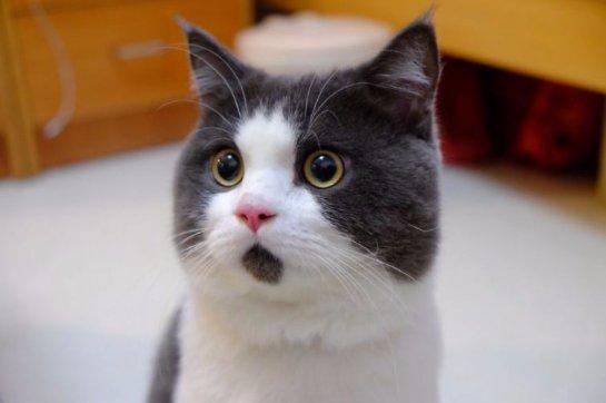 Удивленный кот Банья стал новой звездой интернета