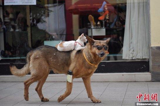 Кошка оседлала собаку