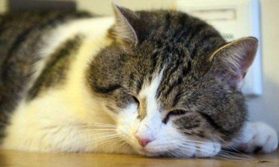 Главный кот Британии поймал мышь
