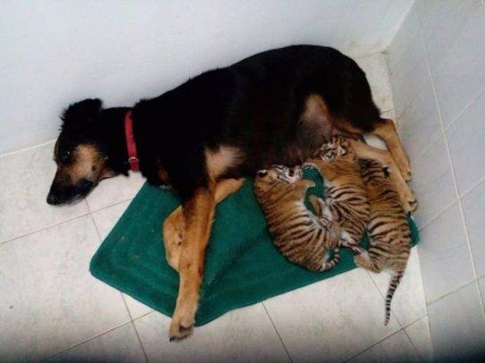 У тигрят появилась необычная мама