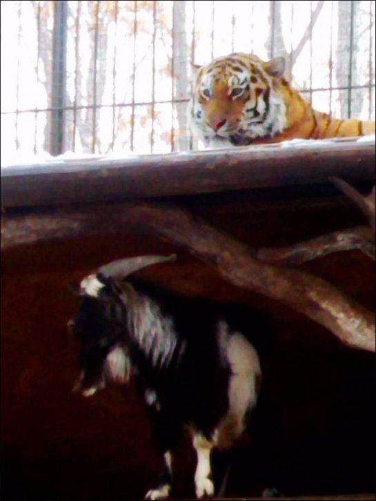 Амурский тигр подружился с козлом