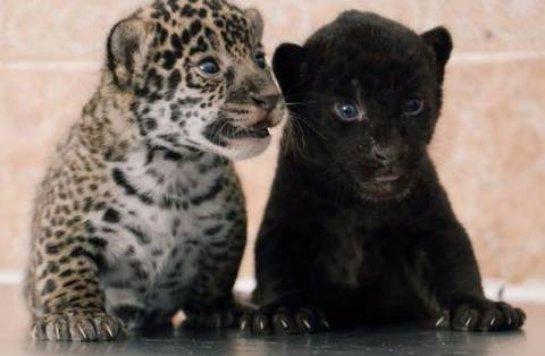 В зоопарке Санкт-Петербурга родились детеныши ягуара