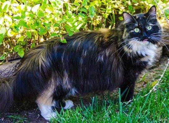 Софи стала самой длинношерстной кошкой в мире