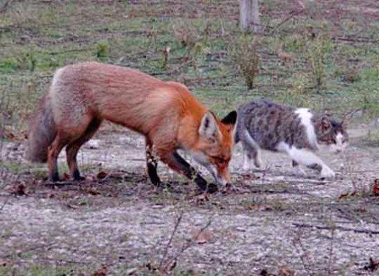 Кот Василий подружился с лисенком