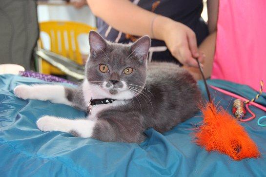 В Благовещенске прошла выставка кошек