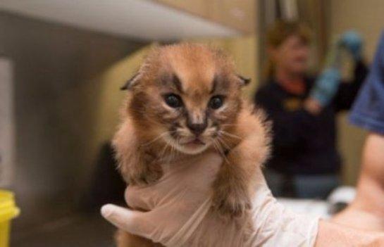 В Орегонском зоопарке показали детенышей каракала