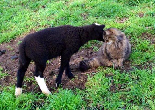 Кот-пастух помогает пасти овец