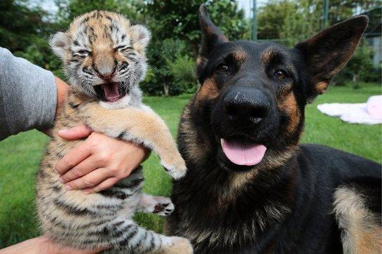 В словацком зоопарке тигренка воспитывают собаки
