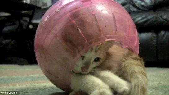 Котёнок, который застрял в шарике для хомяка