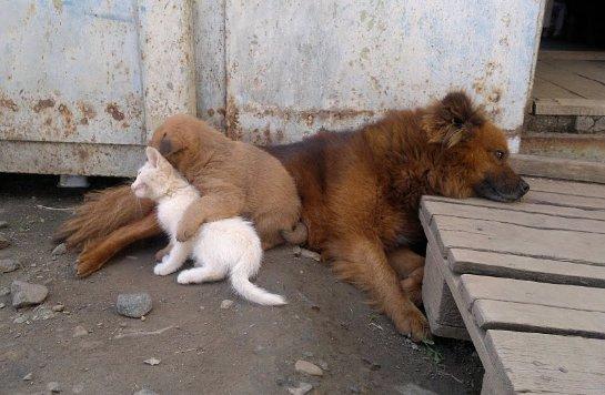 Еще одна история про собаку и усыновленного котёнка