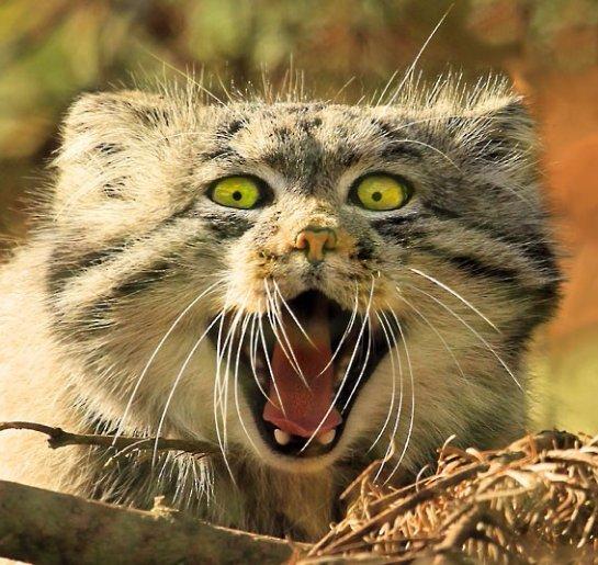 В шотландском зоопарке Highland Wildlife Centre запечатлели удивленного манула