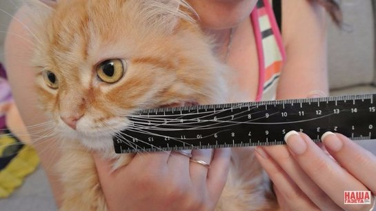 Кот Крепыш - обладатель самых длинных усов