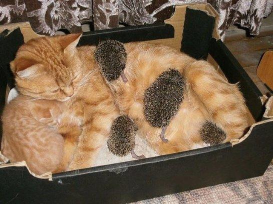 Рыжая кошка стала мамой для ежат