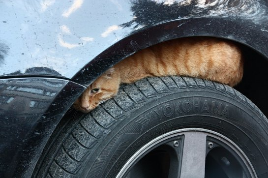 Кошка, которая проехала полтысячи километров под капотом автомобиля