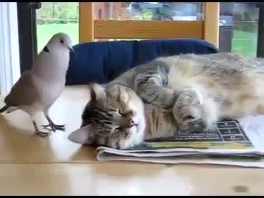 Кошка подружилась с голубем