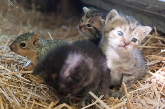Кошка стала мамой для бельчонка