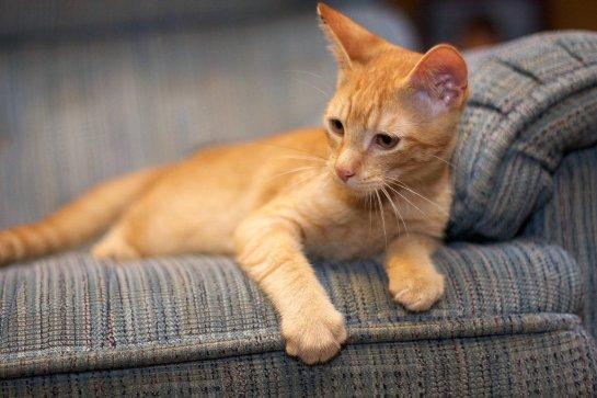 Рыжий котик, который любит кукурузу