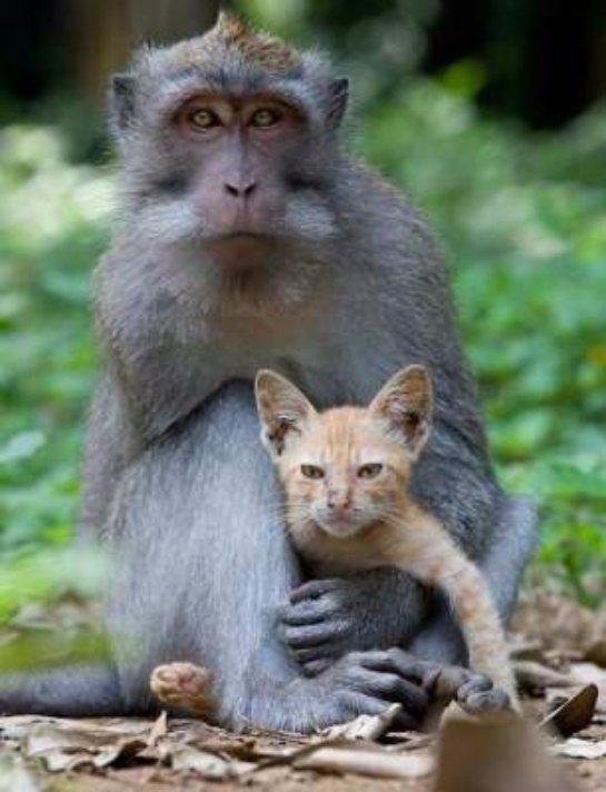 Макака стала мамой для котенка