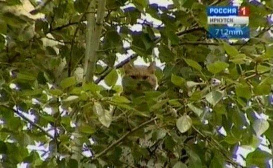 В Иркутске всем двором снимали кота с дерева