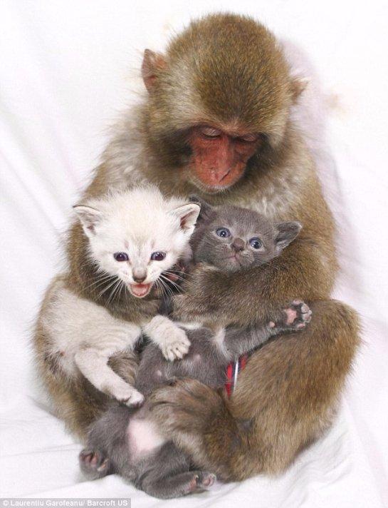 Обезьяна стала мамой для двух котят