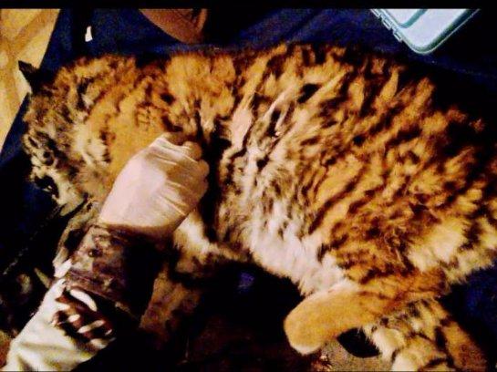 В Приморье спасли голодного тигренка