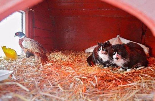 В ярославском зоопарке коты живут с фазанами