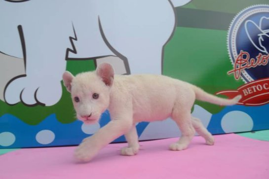 В Бразилии родился белый львенок