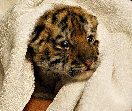 Купание трехнедельного амурского тигренка