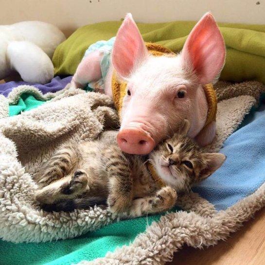 Дружба котёнка с поросенком